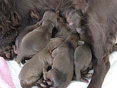 Gabby and Field Spaniel Puppies