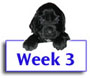 Field Spaniel Puppy Photos